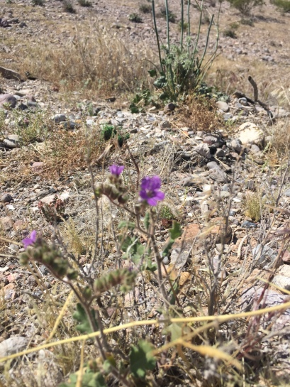 scorpion weed on the Moapa Mesa